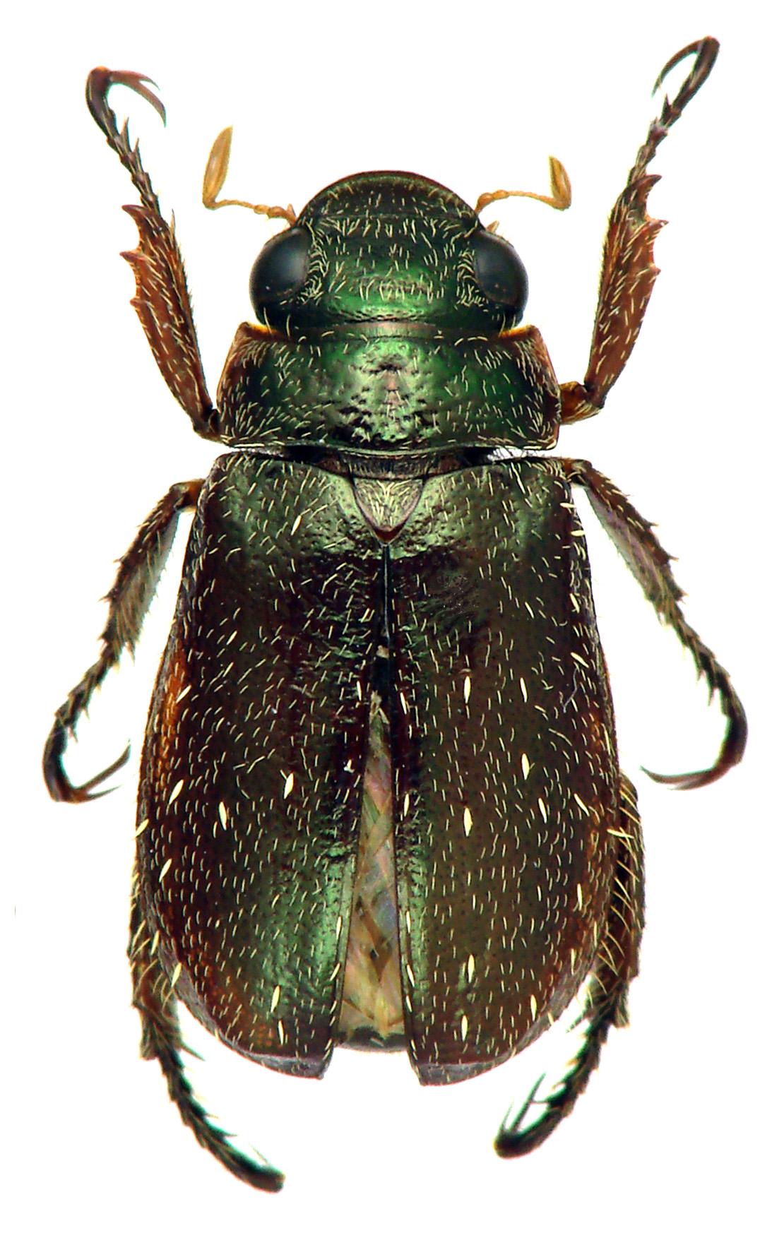 Adoretus (Chaetadoretus) mckameyi ht M D.jpg