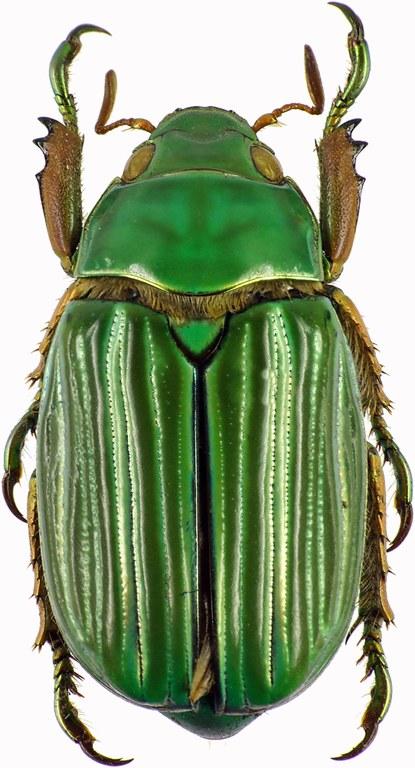Chrysina (Plusiotis) adelaida 28857cz60.jpg