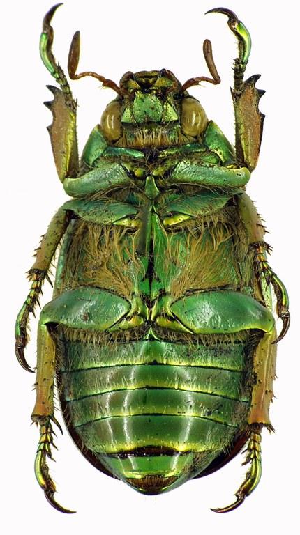 Chrysina (Plusiotis) adelaida 28872cz74.jpg