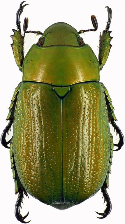 Chrysina purhulensis 28850cz53.jpg