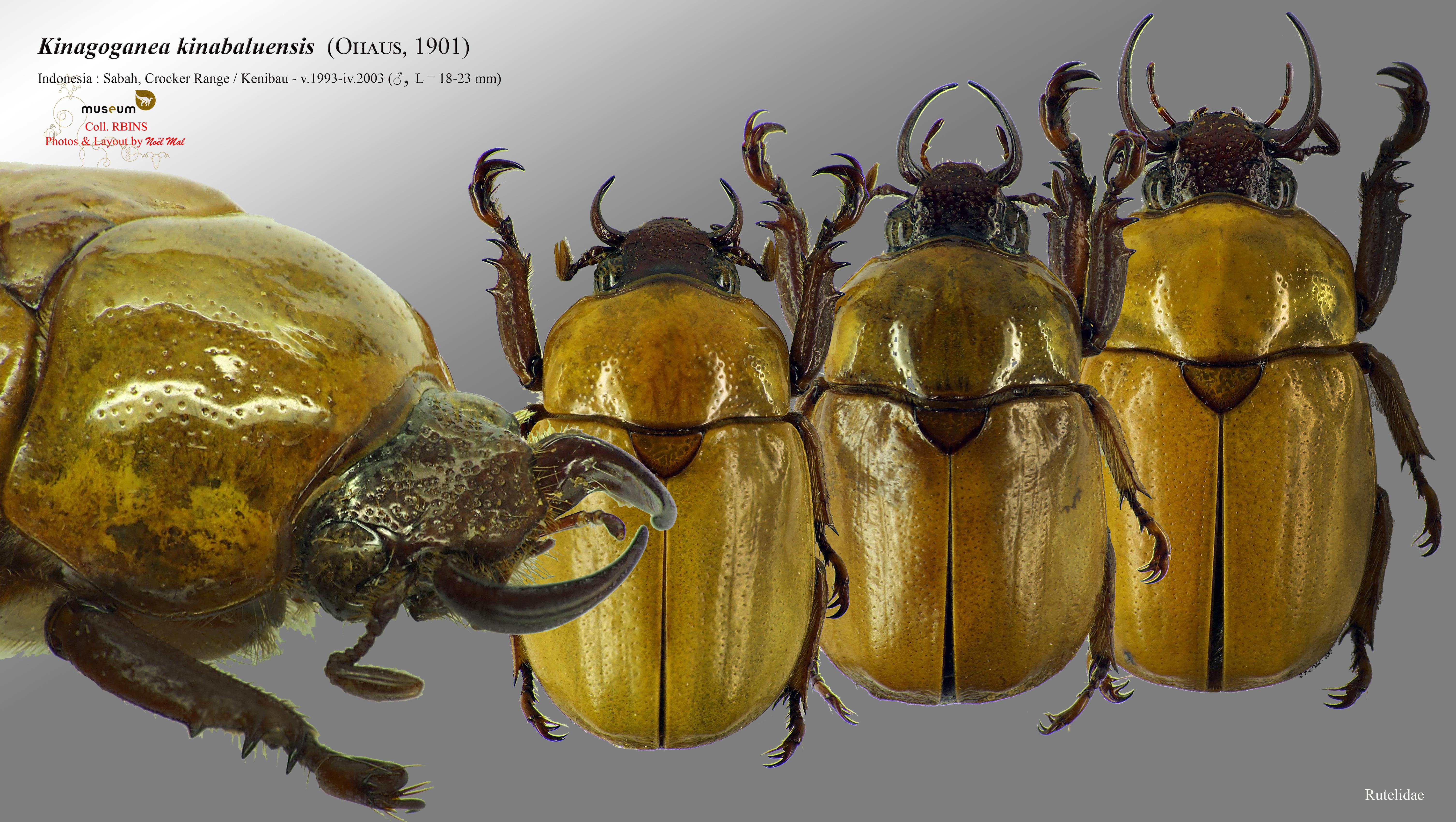 Kinagoganea kinabaluensis.jpg