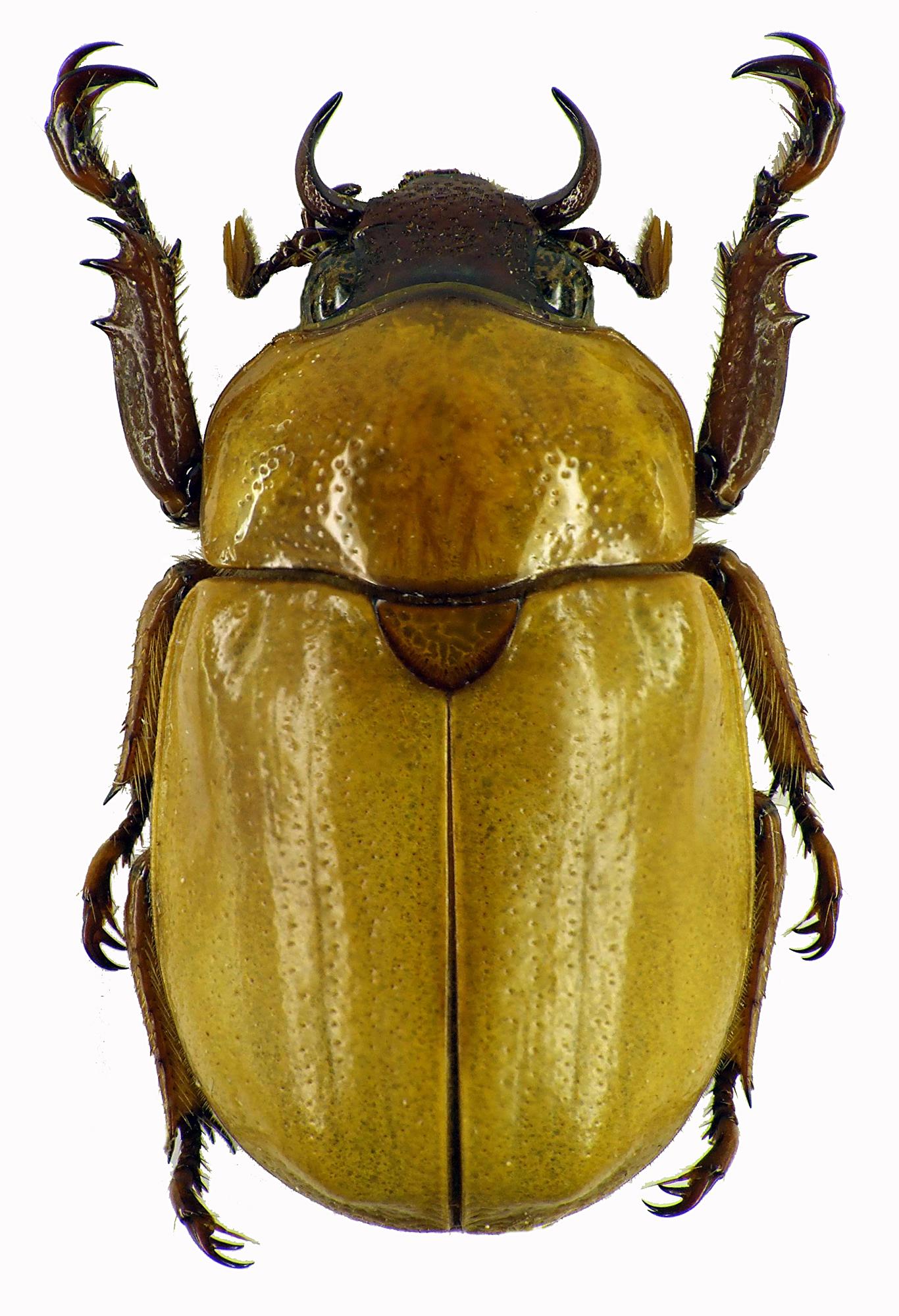 Kinagoganea kinabaluensis 28357cz61.jpg