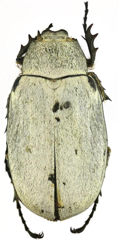 Tricholepis albosquamosa HT 21607zs18.jpg