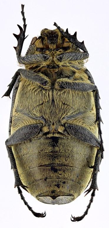 Tricholepis albosquamosa HT 21619zs29.jpg