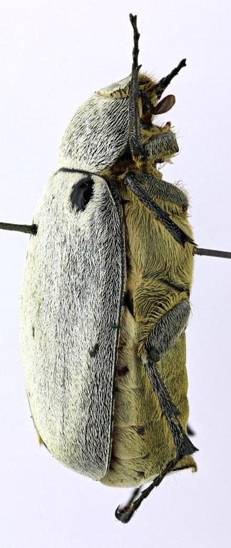 Tricholepis albosquamosa HT 21630zs42.jpg