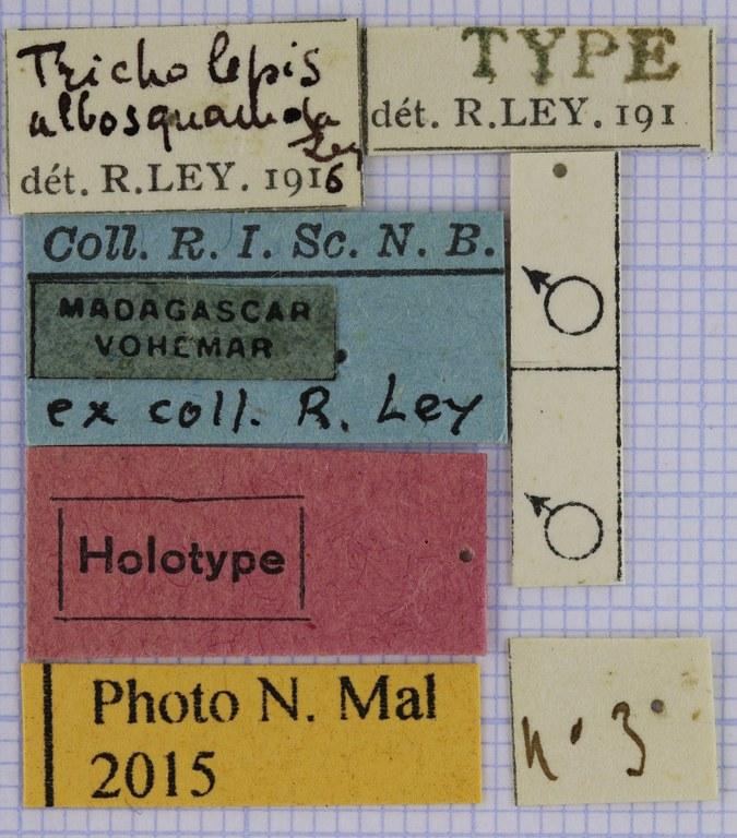 Tricholepis albosquamosa HT 21643.jpg