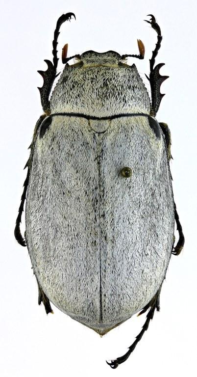 Tricholepis albosquamosa PT 21707zs21.jpg