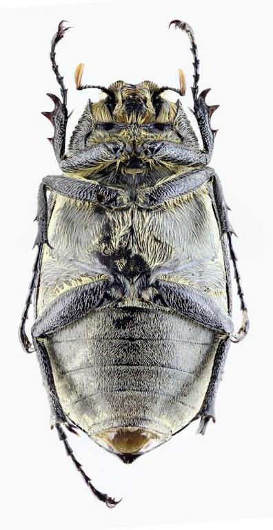 Tricholepis albosquamosa PT 21723zs33.jpg