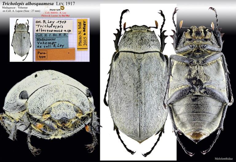 Tricholepis albosquamosa.jpg