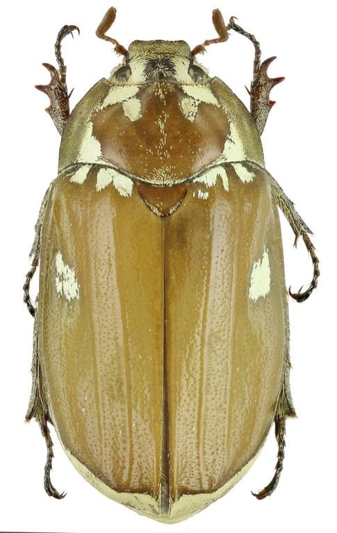 Zhangia maculata 26112zs39.jpg