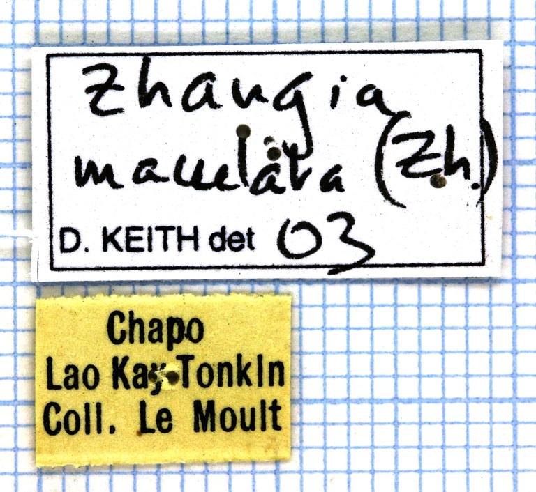 Zhangia maculata 26140.jpg