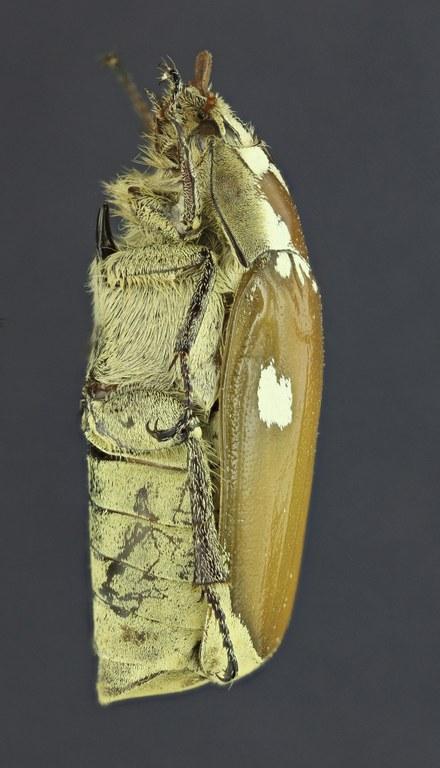 Zhangia maculata 26141zs56.jpg