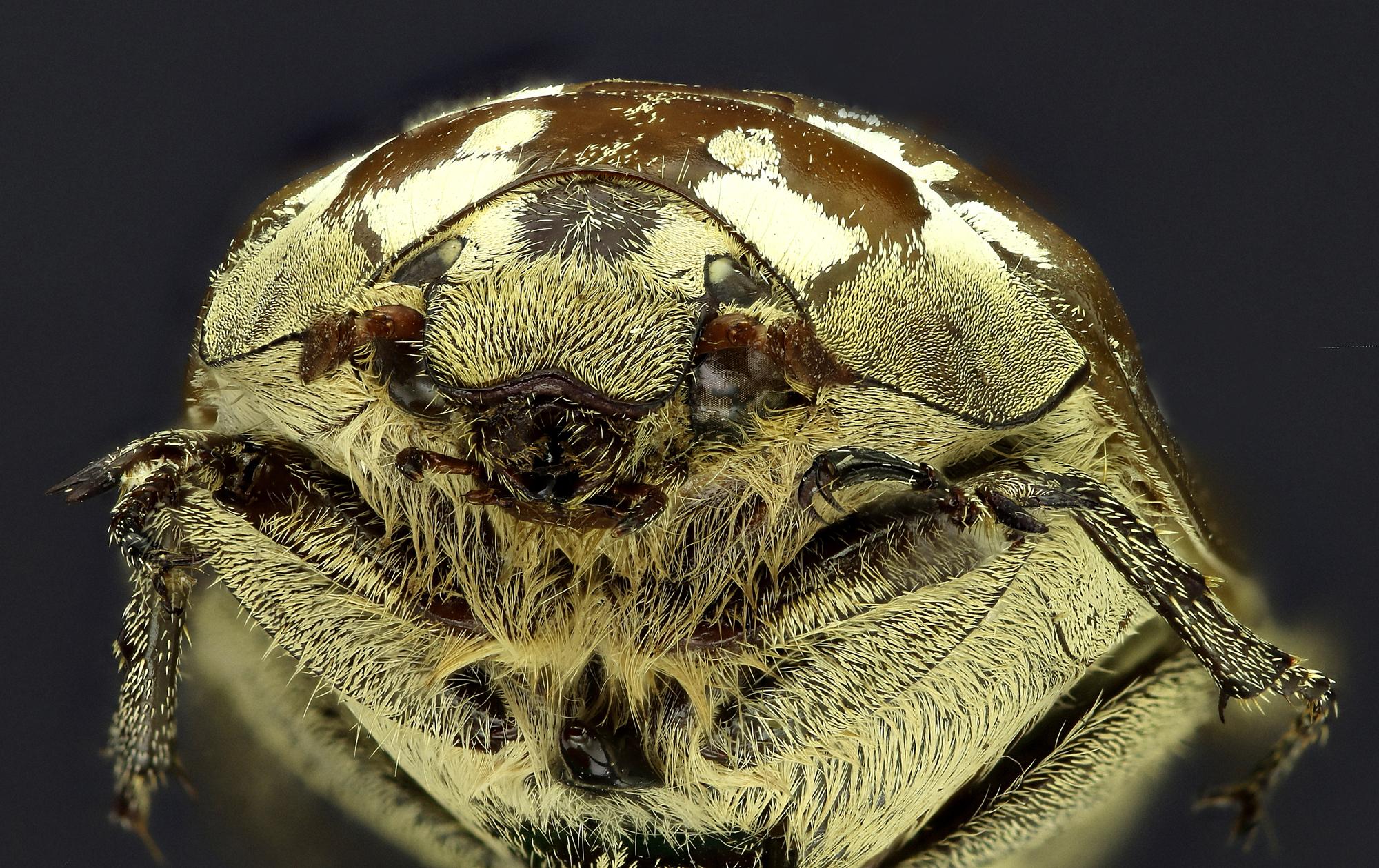 Zhangia maculata 26216zs59.jpg