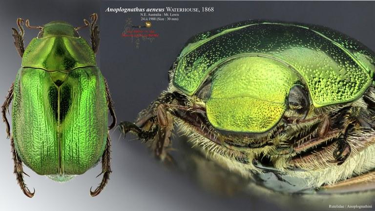 Anoplognathus aeneus.jpg