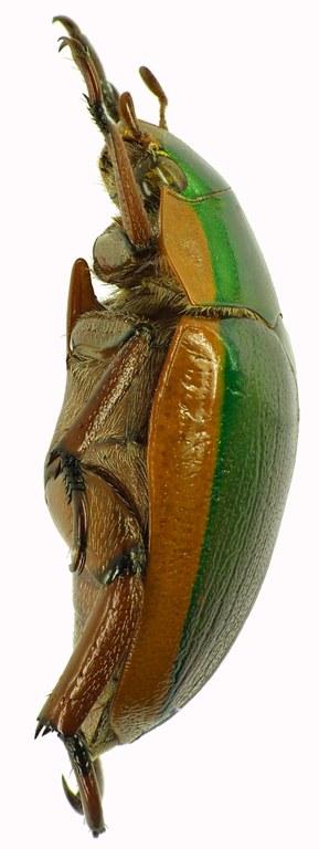 Anoplognathus grayanus 28954cz58.jpg
