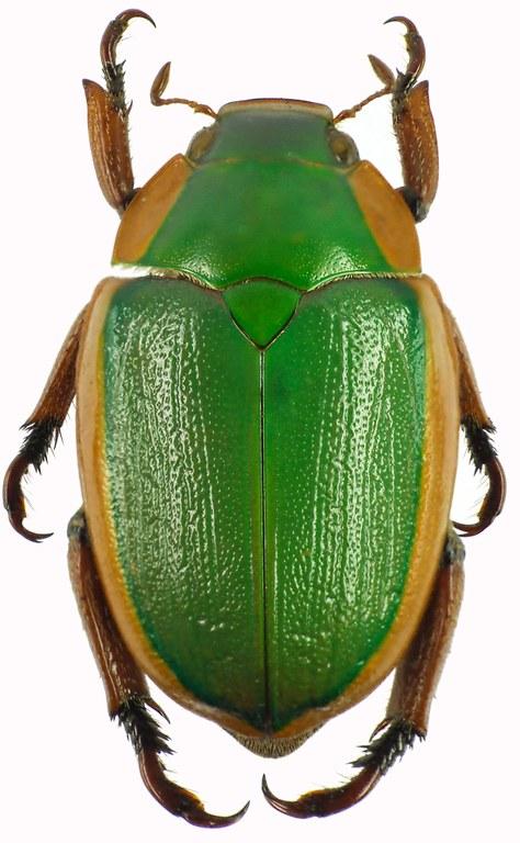Anoplognathus grayanus 28959cz63.jpg