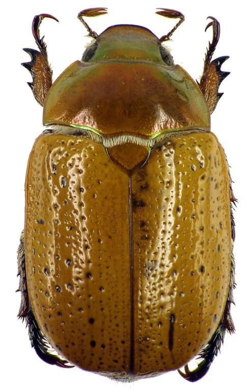 Anoplognathus pectoralis 28975cz79.jpg