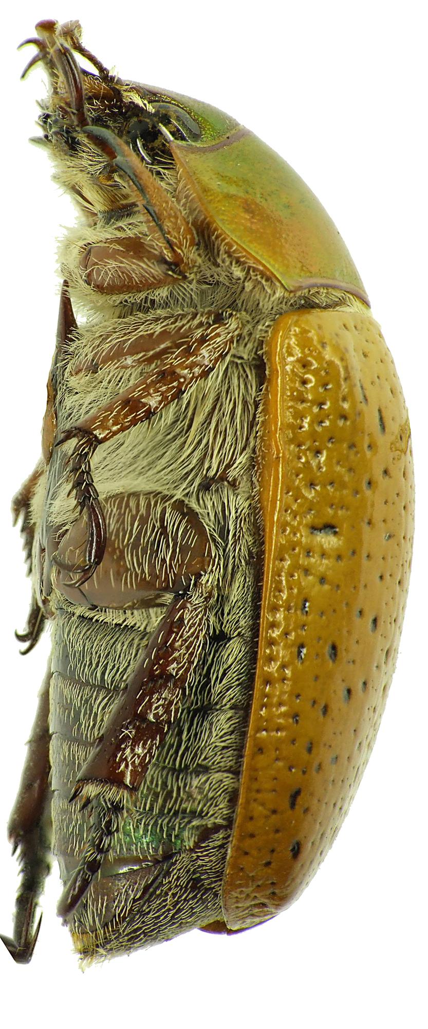 Anoplognathus pectoralis 28980cz85.jpg