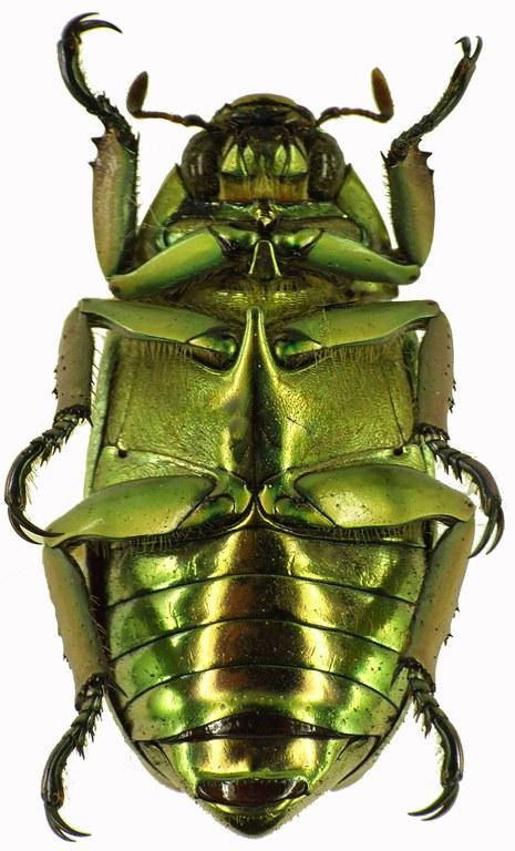Chrysina (Plusiotis) argenteola 28878.cz79JPG.jpg