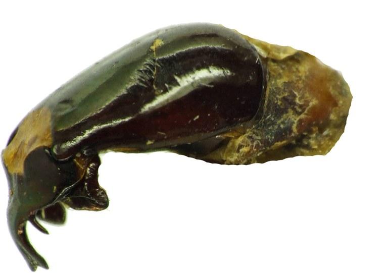 Chrysina (Plusiotis) boucardi 26125cz27.jpg