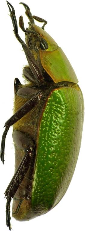 Chrysina (Plusiotis) boucardi 26128cz32.jpg