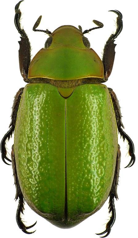Chrysina (Plusiotis) boucardi 26133cz38.jpg