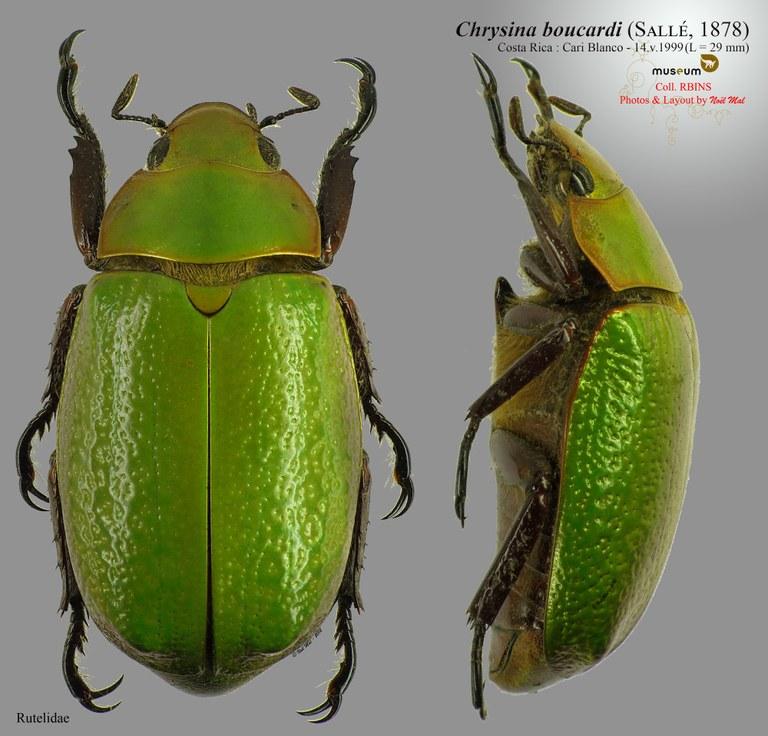 Chrysina (Plusiotis) boucardi.jpg