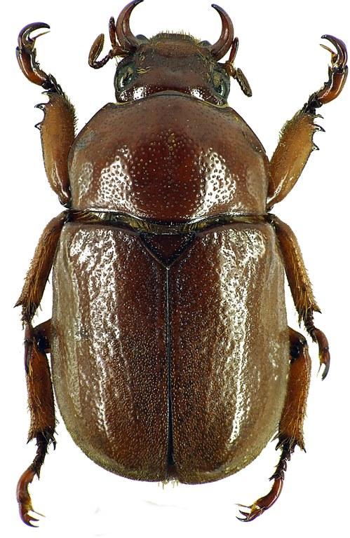 Didrepanephorus mizunumai 26420cz24.jpg