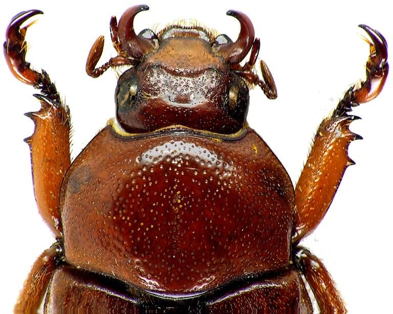 Didrepanephorus mizunumai 6425cz29.jpg