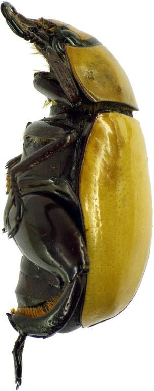 Macropoides crassipes crassipes 26479cz87.jpg