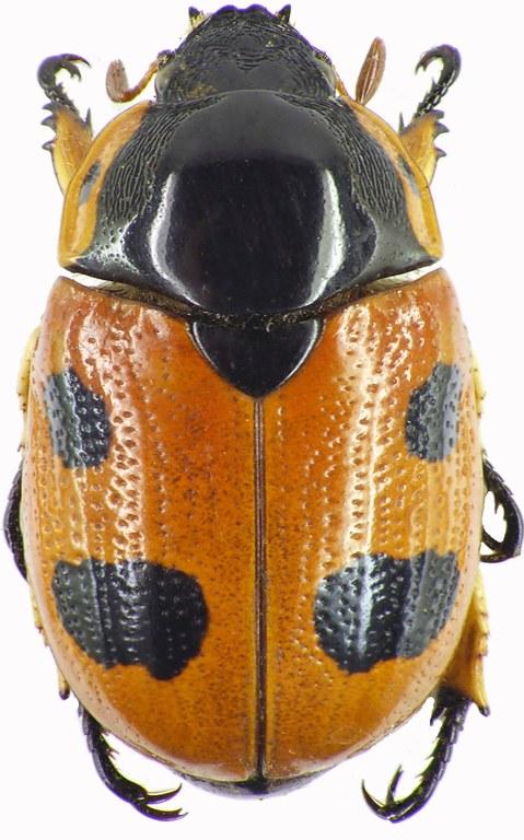Rutelarcha quadrimaculata  8276cz83.jpg