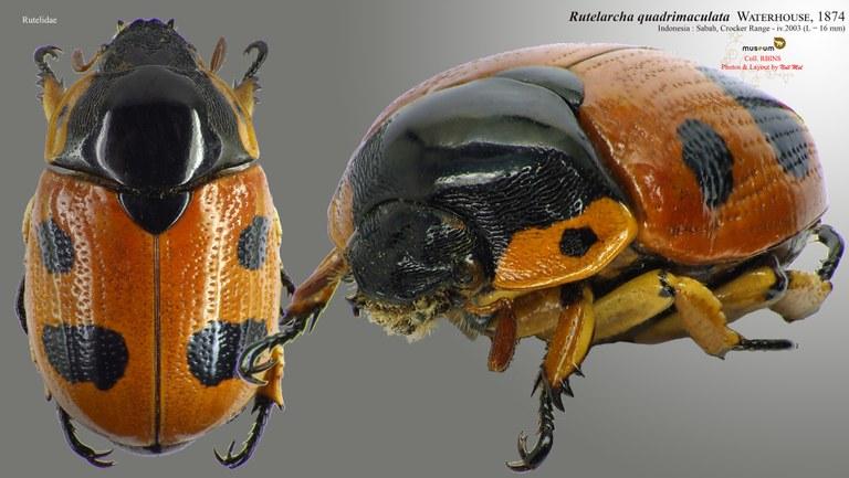 Rutelarcha quadrimaculata.jpg