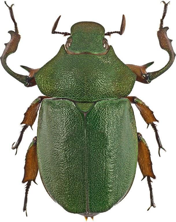 Spodochlamys latipes 41881cz89.jpg