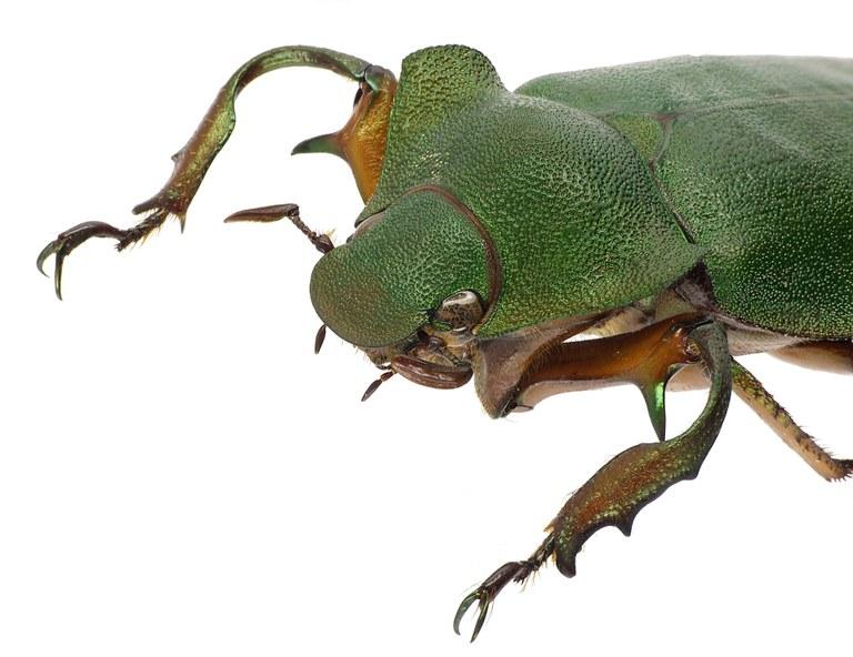 Spodochlamys latipes 41890cz00.jpg