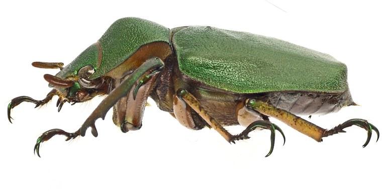 Spodochlamys latipes 41901cz10.jpg
