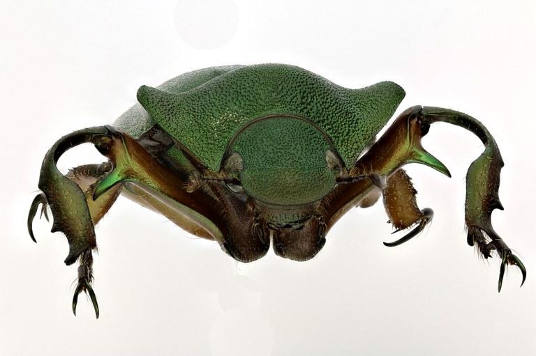 Spodochlamys latipes 9631zs60.jpg