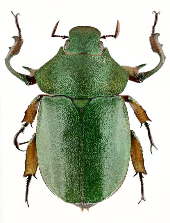 Spodochlamys latipes 9701zs14.jpg