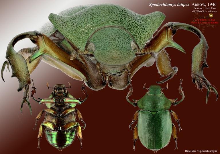 Spodochlamys latipes.jpg