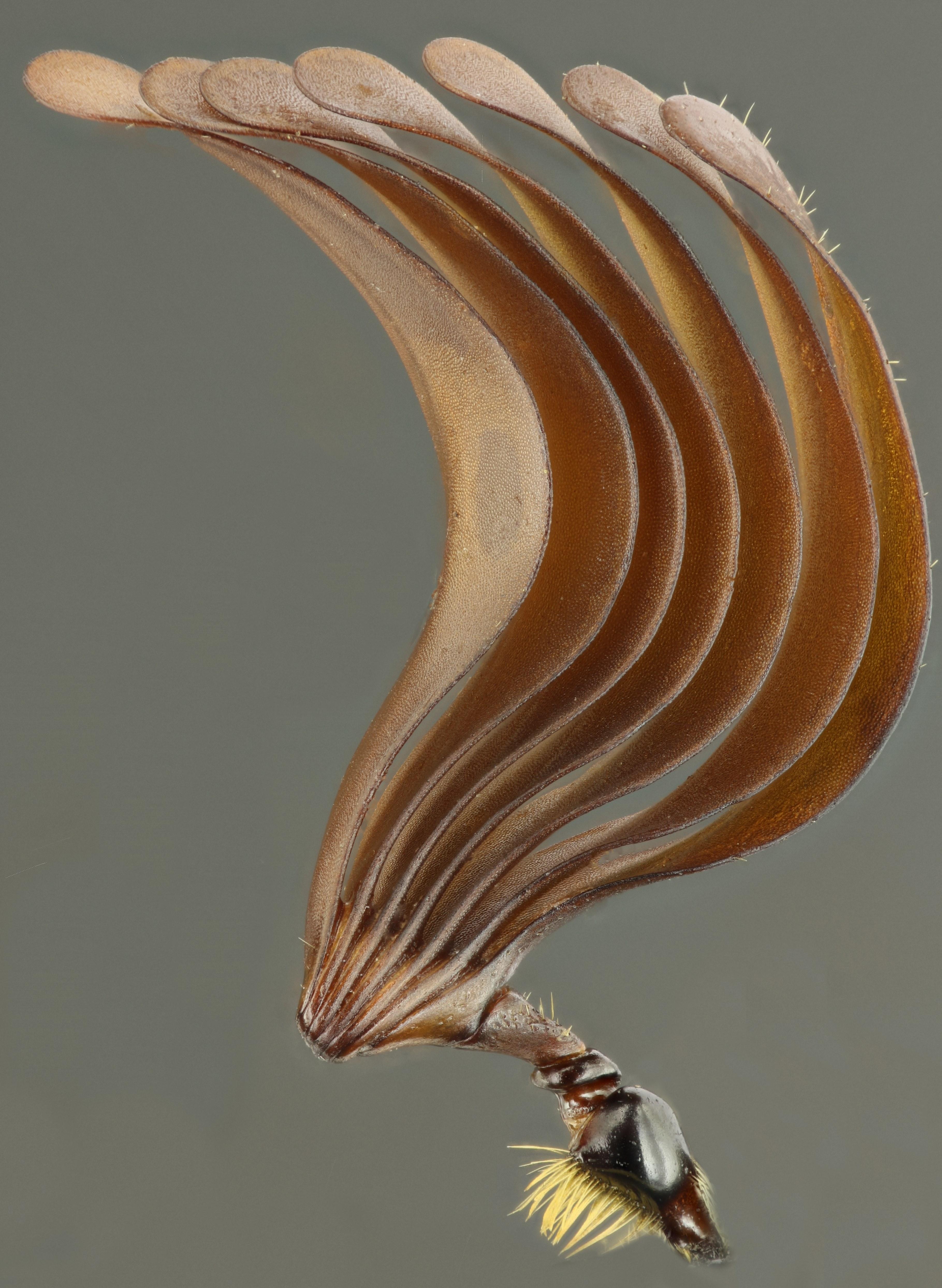 Polyphylla fullo antenne 61216zs52.JPG