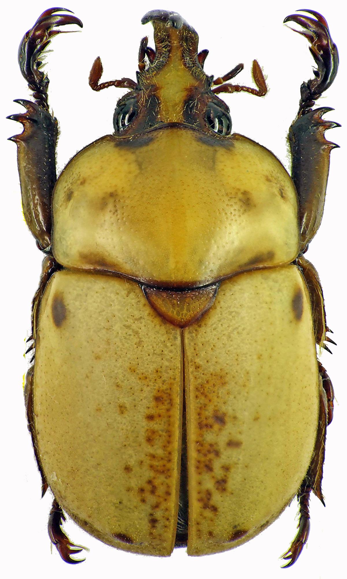 Ceroplophana modiglianii borneensis 28300cz04.jpg