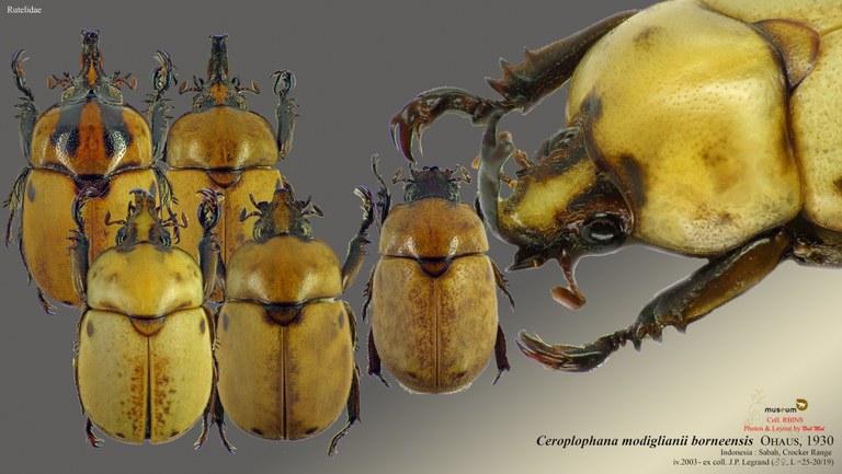 Ceroplophana modiglianii borneensis.jpg