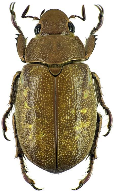 Chrysina (Plusiotis) moroni 26234cz37.jpg