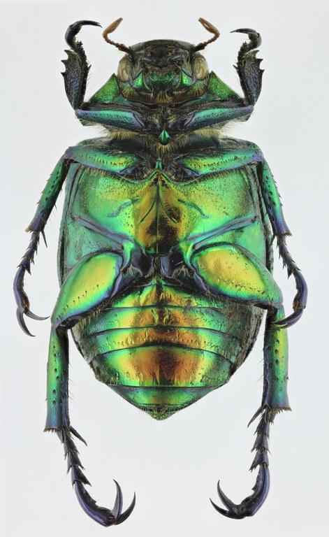 Chrysophora chrysochlora 9766zs86.jpg