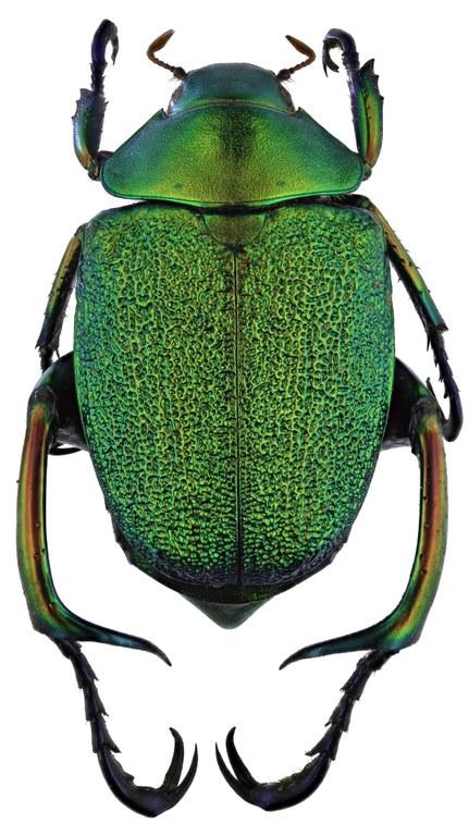 Chrysophora chrysochlora 9787zs98.jpg