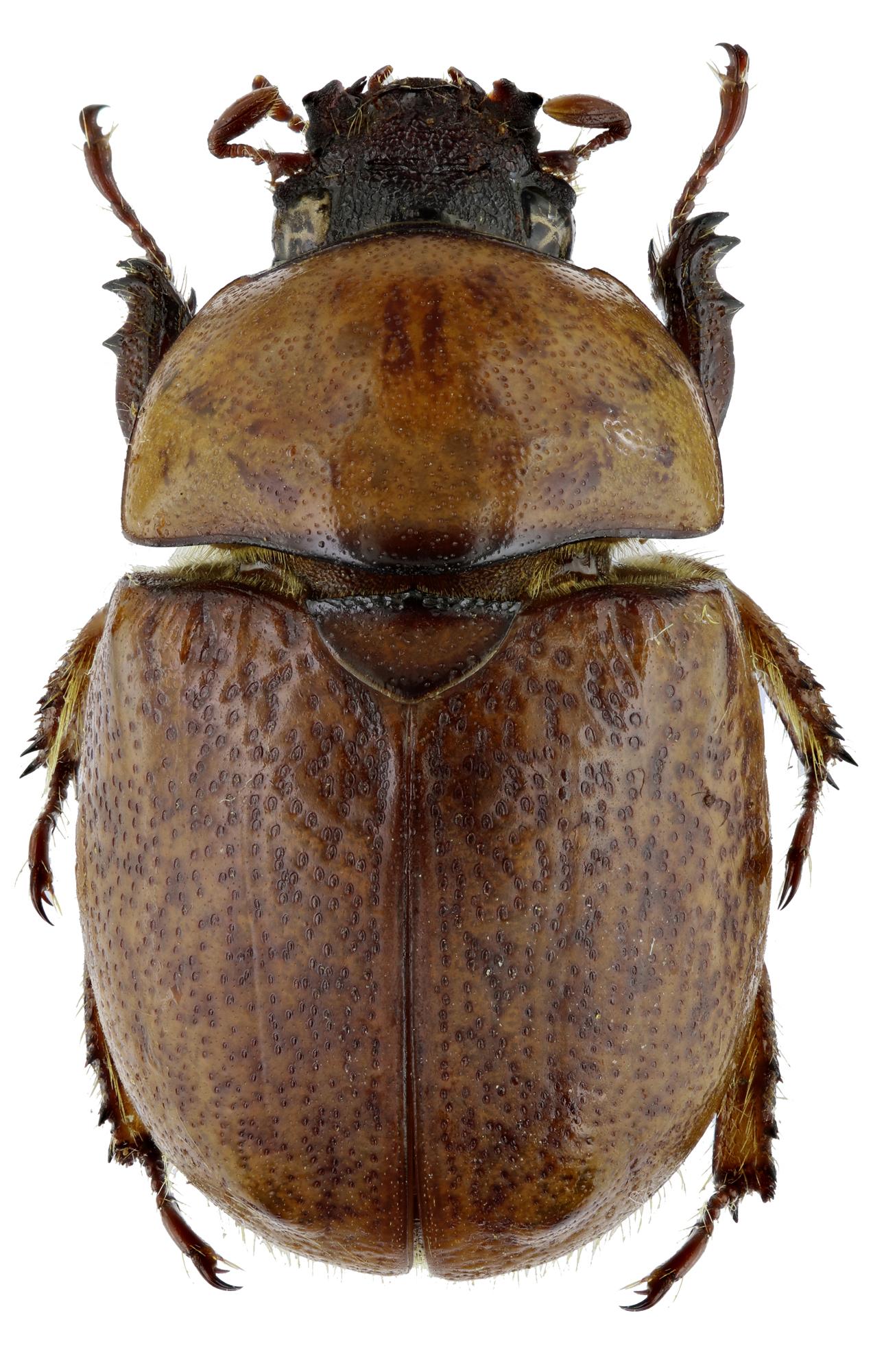 Dicaulocephalus feae 20462zs80.jpg
