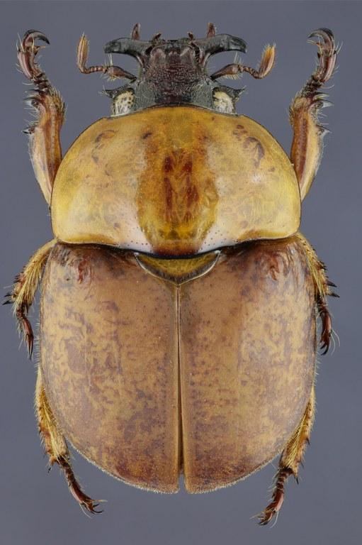 Dicaulocephalus feae 20481zspdr66.jpg