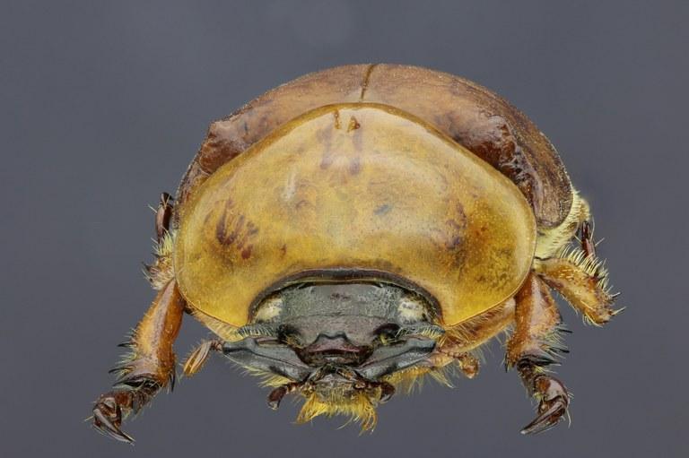 Dicaulocephalus feae 20507zs41.jpg