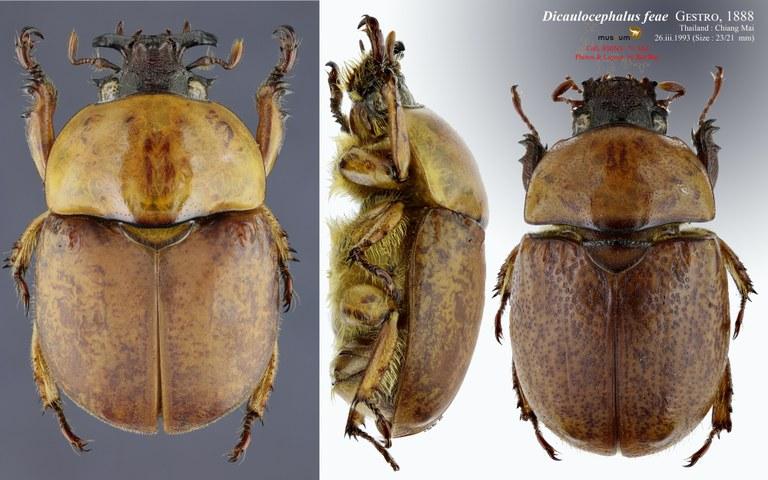 Dicaulocephalus feae.jpg