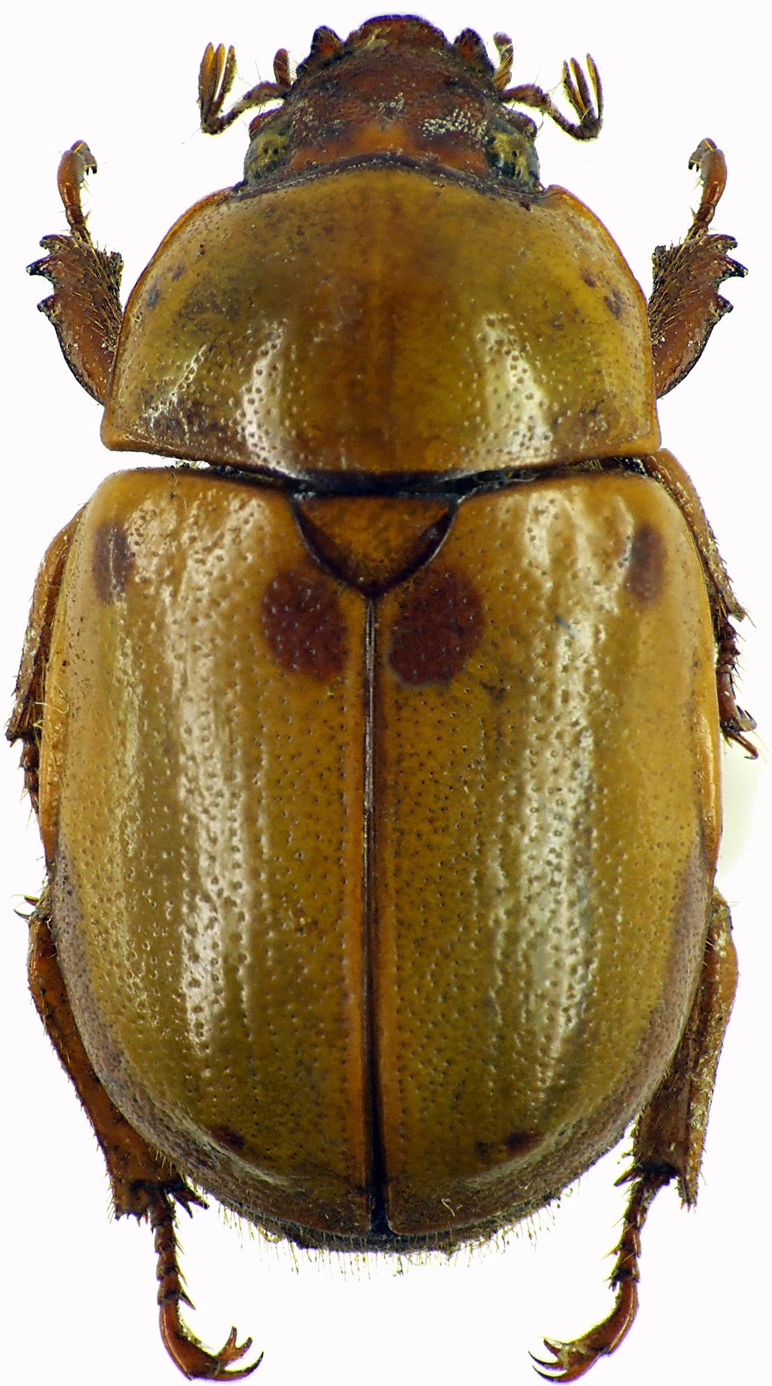 Fruhstorferia sexmaculata 28598cz04.jpg