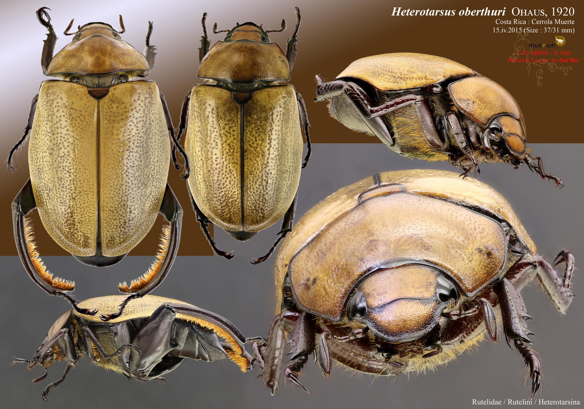Heterosternus oberthueri.jpg
